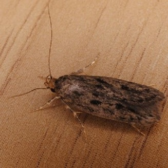 brown house moth2x
