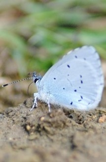 holly blue2x