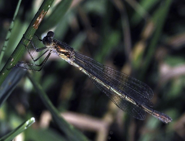 emerald damsel fly2